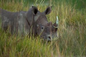 RhinoMove c.Beverly Jouberts, RhinosWithoutBorders