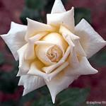 amelia earhart rose